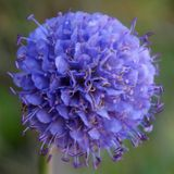 Devil's Bit Scabious by Sinnerman