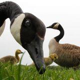 Hanada Goose