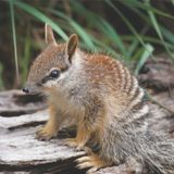 Breakfast of the Numbat King