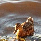 JFF 300 - Dwadling Duck
