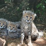 Cheetahs - on the brink of extinction