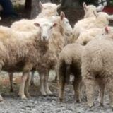 Kammoth #118 - Sheep Nextdoor