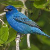 S+D, Vol. 159: Bluebird Song