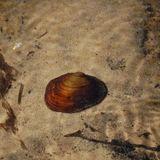 WA freshwater mussel population slipping away