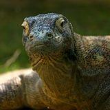 ZOOMagazín - 2.10.2017 - Komodští draci - největší ještěři s důmyslným systémem lovu