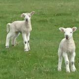 Lambykins Spring Special