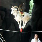 Electronic Goat