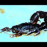Freakshow - Parabuthus transvaalicus