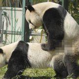 Dis maman, ça fait comment pour séduire un Panda... ?