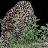 Gente de la montaña Podcast_D Jaguar_Jaguar Time