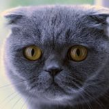 Scottish Fold cats: breeding for appearance over welfare - Sean Wensley on BBC Radio 4 13.04.17