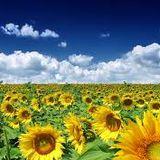 MahdiLePtitAumVert_Sunflower Desires