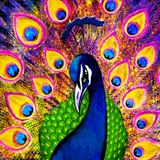 20150722_PEACOCK at Dimension