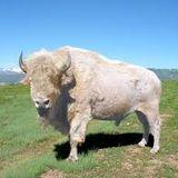 Buffalo Demo