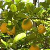 The lemon tree session