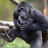 TRAVISWILD's Animal Kingdom Radio 018 - Gorilla