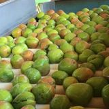 Bipartisan support to seal Northern Territory mango roads