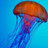 TRAVISWILD's Animal Kingdom Radio 042 - Jellyfish