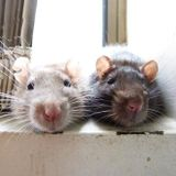 Sunday Rats (for Kate)
