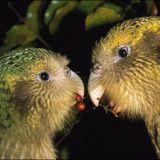 Kakapo (Radio Gerijatrija, 6.11.2013.)