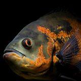 BAM #2: Kleiner Schwarzer Fisch