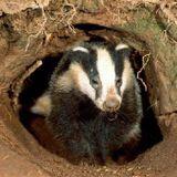 HEDTONIK: Bass Badger's Winter Elixir