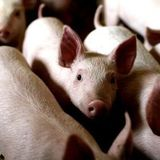 Exposing the cruelty to pigs in the food production system