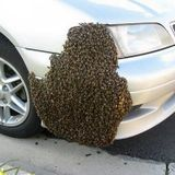 Hutt Zone – 20161020 – Swarming Bees