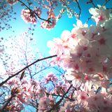 ☆作業用BGM☆〜だから私は桜を見あげたくなったんだ〜☆Spring mix