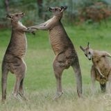 Dancing With Kangaroos A Melbourne Bounce Mix By Vissow