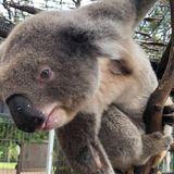 Fears for the future of Australia's koalas