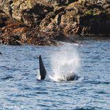 Deep Canyon Orcas
