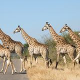 Stuck In Giraffic