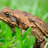 Hope that non-lethal, infertile cane toads could save Australian wildlife