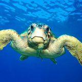 ZOOMagazín - 24.4.2017 - Mořské želvy aneb jak hluboko se potápět za medúzou