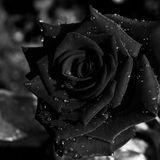 BLACK ROSE 592 8/12/2018
