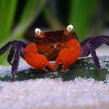Dicke Krabbe