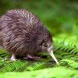 [DMTH] - Flight Of The Kiwi