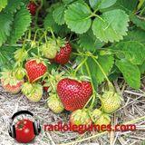 Allons aux fraises!