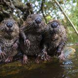 Beavers In Brazil Volume 2