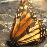 The Shoreline Butterflies by Joey Kato