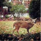 FIREFOXNEWS ONLINE™ A one antlered deer in King DeBlasio's Court loses his life.
