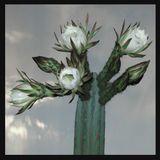 Echinopsis Pachanoi Mixture