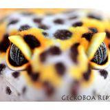(Replay) 2016 Breeding plans with John Scarbrough of Gecko Boa Reptiles