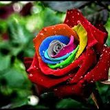 Ohm Rose Mix