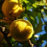 Lemon peels dub