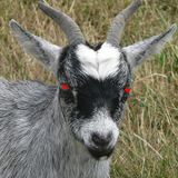 Infected by goats mix