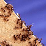 la chronique nature - Les fourmis