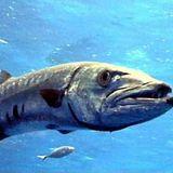 Balearic Barracuda