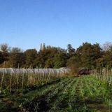 Chez Laurent Welsch - BREBIS pour gérer les engrais verts ; ANIMAUX et PAYSANS